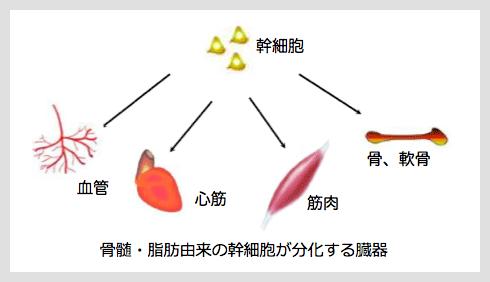 さまざまな組織や臓器に分化